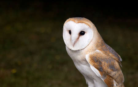 Barn Owl perched and watching