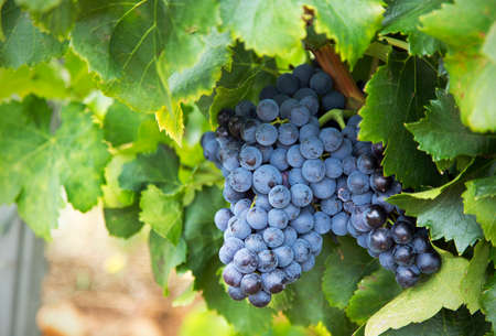 Chareauneuf de Pape grapes growing in Avignon Stock Photo
