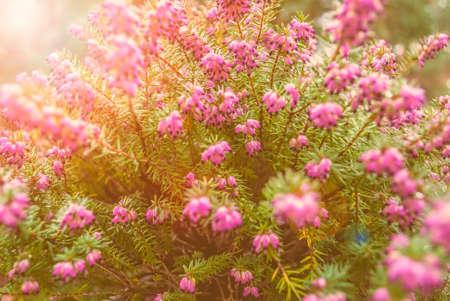 いくつかの美しい野生エリカ尋常性の花を彼らは寒い冬の間の深い紫の色を与える!