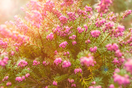 erica: Some beautiful wild Erica Vulgaris flowers, when they give deep purple colors during cold winter ! Stock Photo
