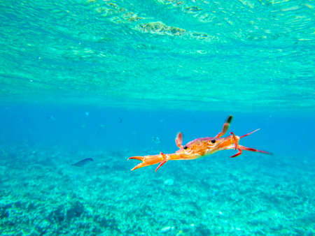 orange crab attack on a beautiful turquoise ocean Stock Photo