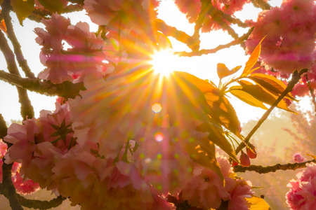Cherry flowers with stared sunrise background