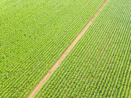 Aerial view of corn field culture