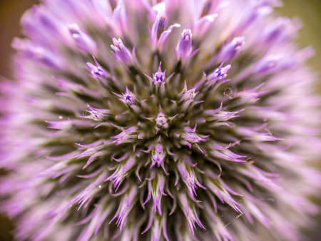 Close-up of a deep purple Scottish Thistle, the national flower of Scotland