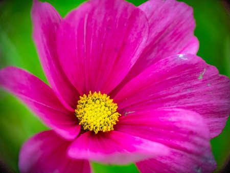 Cosmos pink garden flower closeup view Reklamní fotografie