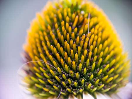 Echinacea bulb isolated macro view