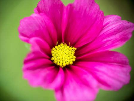 Macro view on cosmos garden flower in Autumn