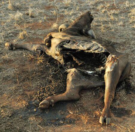 carcass: BUFFALO CARCASS Stock Photo