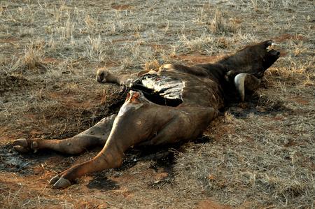 carcass: BUFFALO KARKAS