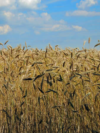 Wheat spikelet field July warm day Stock Photo