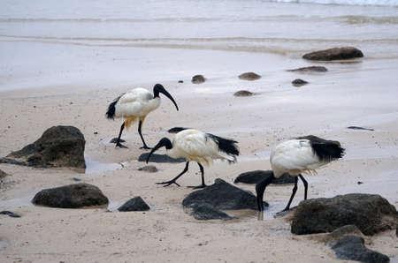 Morning over the ocean. The sacred ibis. Beach. Stock Photo