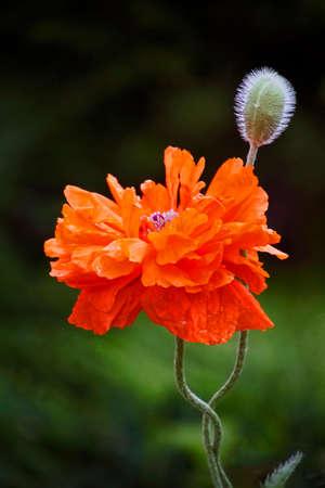 Poppy flower scarlet petals like sails stock photo picture and poppy flower scarlet petals like sails stock photo 102397992 mightylinksfo