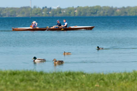 bateau de course: Groupe de canards flottant sur le lac et un aviron de bateau de course sur fond.