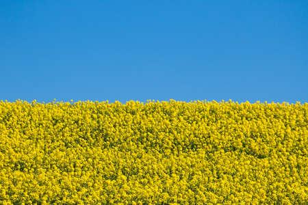 Rapeseed field and sky look like ukrainian flag photo
