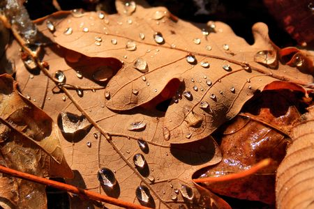 Dewdrops on the leaves of oak Stock Photo