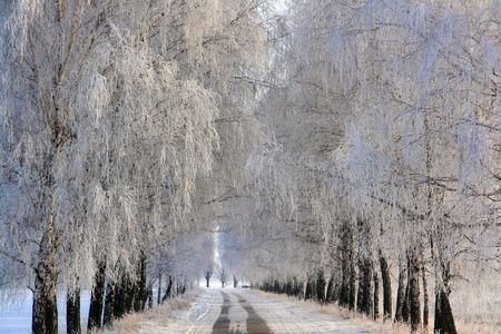 Birch alley covered with rime