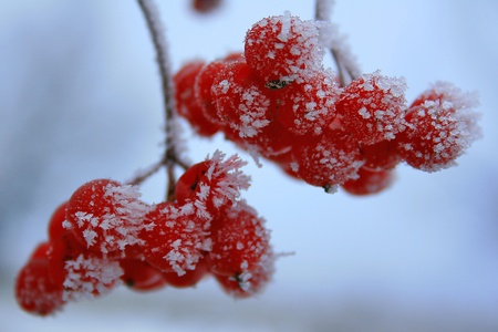 Red berries in the frost Stock Photo - 8231500