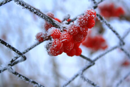 Red berries in the frost photo