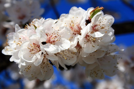 Spring flowering apricot photo