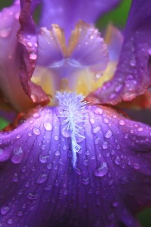 gotas de agua: P�talos de iris en las gotas de Roc�o  Foto de archivo