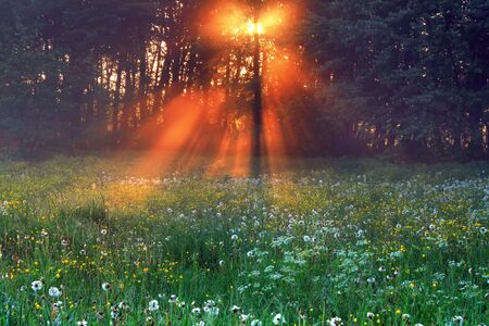 The rays of dawn sunlight illuminate the clearing with wildflowers and dandelions photo