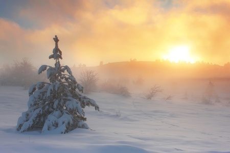 Spruce in the snow against dawn sky in the mountains