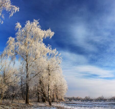 Trees in the snow against the blue sky photo