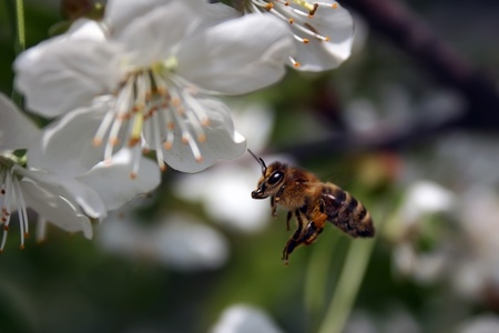 Bee at work on apricot flower photo