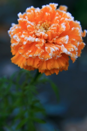 Marigold flower in the frost Stock Photo - 8920164