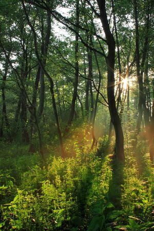 Sun rays in spring forest on sunset Stock Photo - 8969461