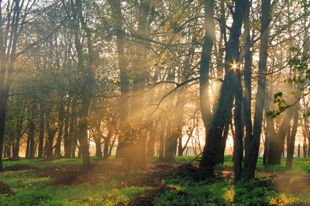 early summer: Misty dawn in the forest with sun rays