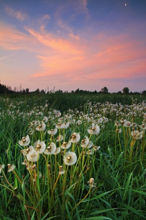 Dandelions at sunrise Stock Photo - 9675492