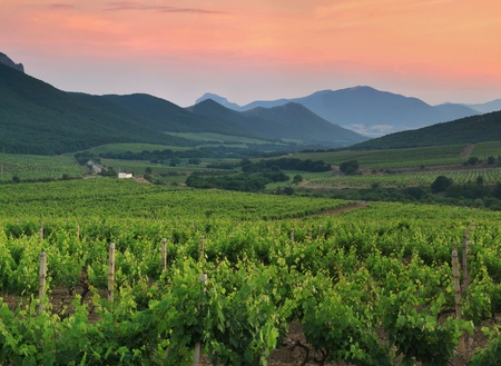 Panorama of vineyards on the sunset