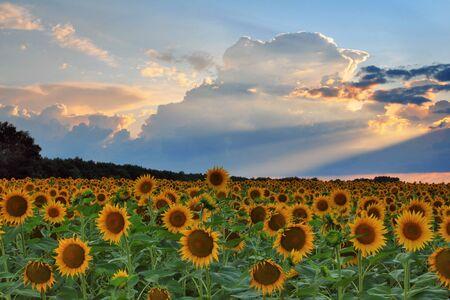 Sunflowers on sunset photo