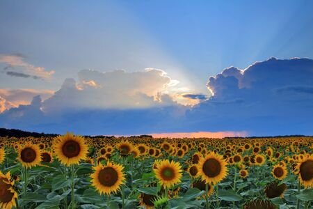 Sunflowers on sunset photo