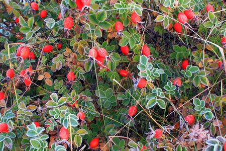 Red berries in the frost Stock Photo - 10589026