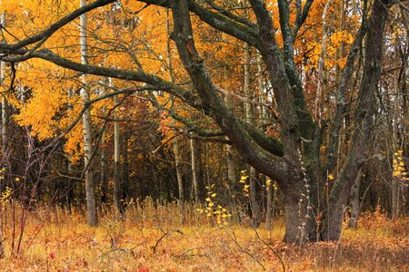 Old oak in autumn forest photo