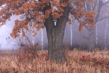 Old oak in misty autumn forest Stock Photo