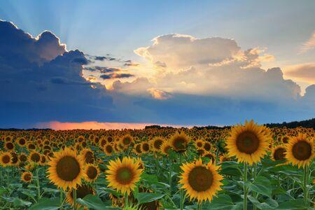 Sunflowers on the sunset photo