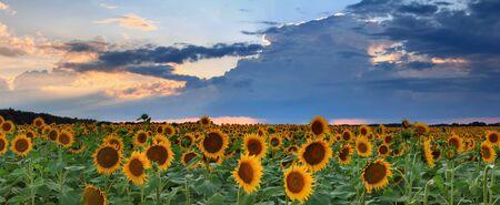 Panorama of sunflowers on the sunset photo