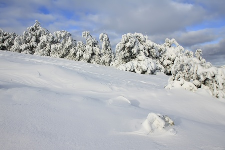 Snow-covered pines in the mountains photo