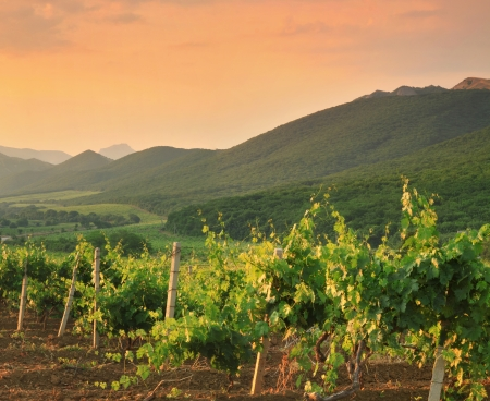 tourism industry: Panorama of vineyards on the sunset