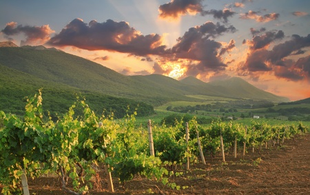 vineyards: Panorama of vineyards on the sunset
