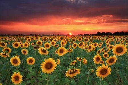 Field of sunflowers on the sunset Stock Photo