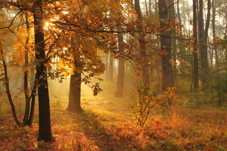 mystical forest: Autumn misty forest on sunrise Stock Photo