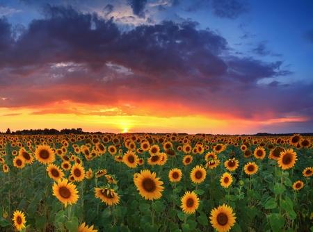 overlay: Field of sunflowers on the sunset Stock Photo