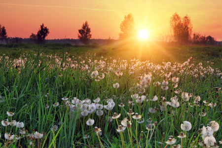 Dandelions at sunrise Stock Photo