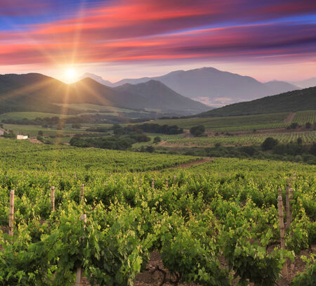 Panorama of vineyards on the sunset photo