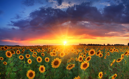 Field of sunflowers on the sunset photo