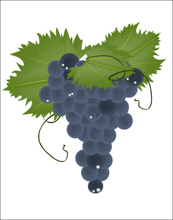 fruitful: realistic grapes on a white background Illustration